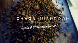 What Is A Chaga Mushroom?