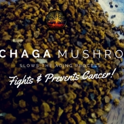 What Is A Chaga Mushroom?
