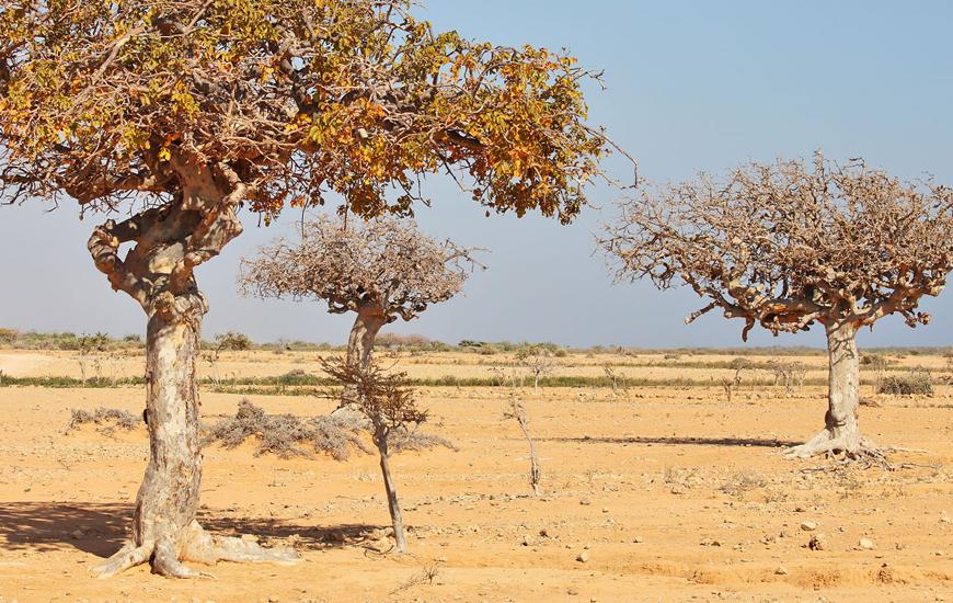 myrrh-trees
