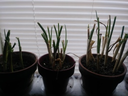 Growing Your Own Scallions